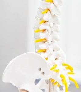Chiropractic model of a spine